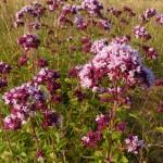 14 Aromatic grassland plant