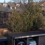 White Cedar hedge