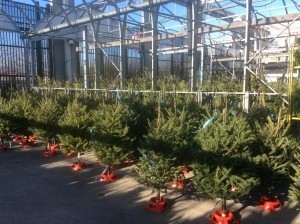 balsam-Christmas-trees