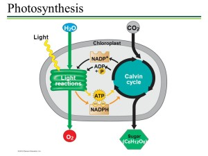 calvin cycle