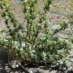 20 (shrub)