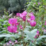 himalayan balsam (1)