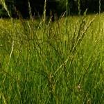 02 Perennial Rye-grass