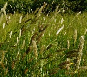 09 Meadow Foxtail