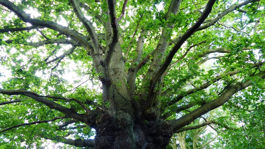 lovely oak
