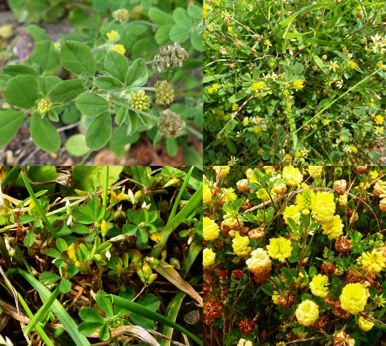 yellow clover types