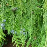 21 Lawsons Cypress