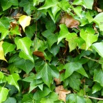 32 Ivy
