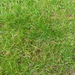 40 Lawn Grasses