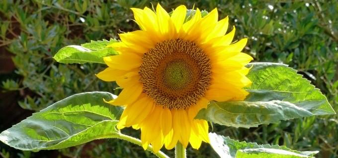 sunflower slide1