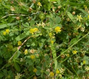 Lesser Trefoil (T.dubium)