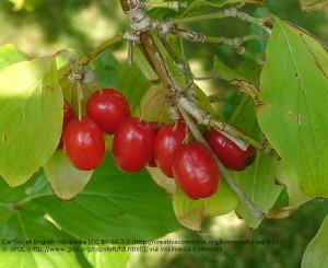 1200px-cornelian_cherry_1b