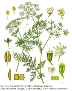 carum_carvi_-_kohler-s_medizinal-pflanzen-172b