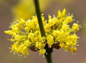 cornus-mas-flowers