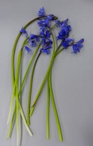 1. Bluebell