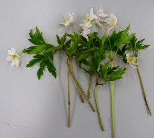 3. Wood Anemone