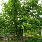 How many Magnolia trees?