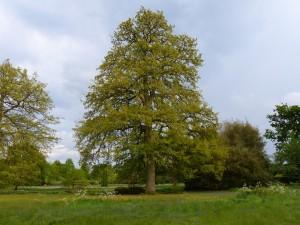 How many Turkey oak trees?